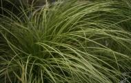 Carex comans ´Frosted Curles´